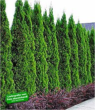 BALDUR Garten Thuja Smaragd Lebensbaum, 1 Pflanze,
