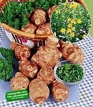 BALDUR-Garten Topinambur,3 Stück Helianthus tuberosus Alternative zur Kartoffel