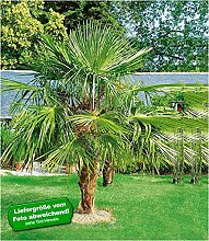 BALDUR-Garten Washingtonpalme, 1 Pflanze
