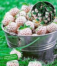 BALDUR-Garten Weiße Ananas-Erdbeere 'Natural White®', 3 Pflanzen & 1 Pflanze Senga Sengana, Fragaria