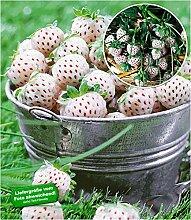 BALDUR Garten Weiße Ananas-Erdbeere 'Natural