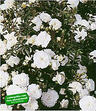 BALDUR Garten Weiße Rose 'Sea Foam', 1