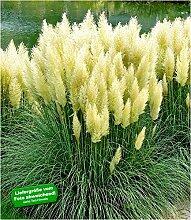 BALDUR-Garten Weißes Pampasgras, 1 Pflanze