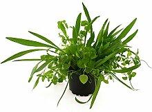 BALDUR-Garten Wildkräuter-Mischung, 1 Pflanze
