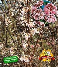 BALDUR-Garten Winter-Schneeball 'Charles
