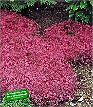 BALDUR Garten Winterhart Bodendecker-Thymian, 3