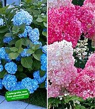 BALDUR-Garten Winterhart Hortensien-Sortiment