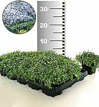 BALDUR-Garten Winterhart Isotoma 'Blue