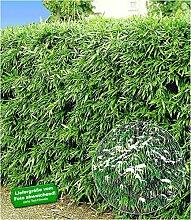 BALDUR-Garten Winterharte Bambus-Hecke, 10