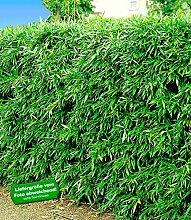 BALDUR-Garten Winterharte Bambus-Hecke, 5