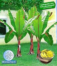 BALDUR-Garten Winterharte Bananen 'rot', 1 Pflanze, Musa Basjoo Red