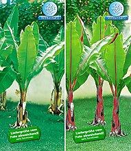 BALDUR-Garten Winterharte-Bananen-Kollektion,2 Pflanzen