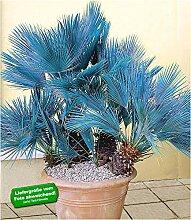 BALDUR Garten Winterharte Blaue Zwerg-Palmen, 1