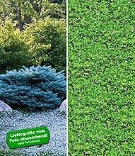BALDUR-Garten Winterharte-Bodendecker-Kollektion,7 Pflanzen