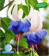 BALDUR-Garten Winterharte Fuchsien 'Blue