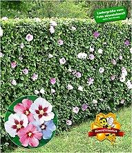 BALDUR-Garten Winterharte Hibiskus-Hecke