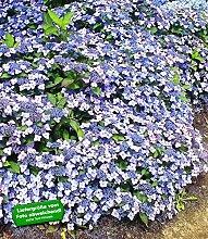 BALDUR-Garten Winterharte Zwerg-Hortensien 'Koreana', Hydrangea marcrophylla, 1 Pflanze