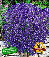 BALDUR-Garten Winterharter Bodendecker Blaukissen