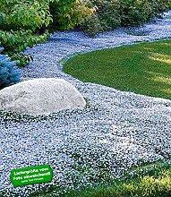 BALDUR-Garten Winterharter Bodendecker Isotoma