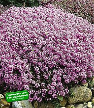 BALDUR-Garten Winterharter Bodendecker