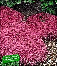 BALDUR-Garten Winterharter Bodendecker-Thymian 9