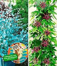 BALDUR-Garten Winterharter Eukalyptus &