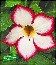 BALDUR-Garten Wüstenrose 'Noble