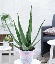 BALDUR-Garten XXL Aloe Vera, 40-50 cm hoch, 1
