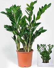 BALDUR-Garten Zamioculcas im 17 cm Topf,1 Pflanze