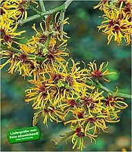 BALDUR-Garten Zaubernuss, 1 Pflanze Hamamelis
