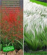 BALDUR-Garten Ziergras-Kollektion, 6 Pflanzen 3