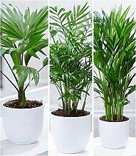 BALDUR-Garten Zimmerpalmen-Set, 3 Pflanzen je 1