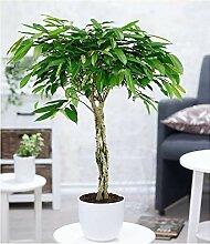 BALDUR-Garten Zimmerpflanze Ficus Amstel King mit