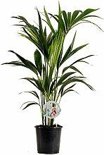 BALDUR-Garten Zimmerpflanze Kentia Palme, 1