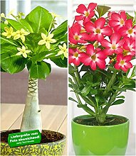 BALDUR-Garten Zimmerpflanzen-Kollektion, 2