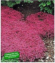 BALDUR-GartenBodendecker-Thymian Thymus, 6