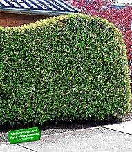 BALDUR-GartenPortugiesischer Kirschlorbeer 1 Pflanze Prunus lusitanica winterhar