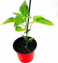Balkon Paprika Pflanze CAPSICUM ANNUUM 'MIDI
