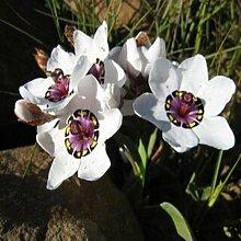 Balkon Topf Blumen-Rot Sparaxis Tricolor Rose blühende Pflanze Blumensamen für Heim & Garten 50 Samen / pack