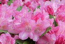 Ball-Rhododendron Emden - Rhododendron yakushimanum Emden (25-30)