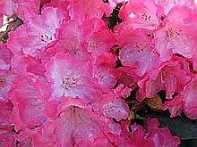 Ball-Rhododendron Fantastica - Rhododendron yakushimanum Fantastica (25-30)