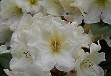 Ball-Rhododendron Golden Melodie - Rhododendron yakushimanum Golden Melodie (25-30)