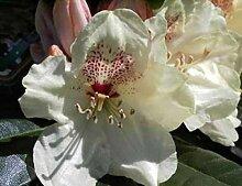 Ball-Rhododendron Goldprinz - Rhododendron yakushimanum Goldprinz (25-30)