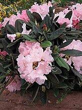 Ball-Rhododendron Graf Anton Günther - Rhododendron yakushimanum Graf Anton Günther (25-30)