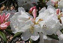 Ball-Rhododendron Grumpy - Rhododendron yakushimanum Grumpy (25-30)