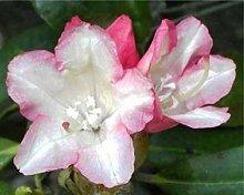 Ball-Rhododendron Minikin - Rhododendron yakushimanum Minikin (25-30)
