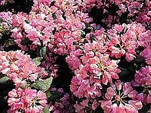 Ball-Rhododendron Polaris - Rhododendron yakushimanum Polaris (25-30)