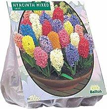 Baltus Hyacinth Blumenzwiebel-Mix im Beutel,