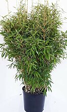 Bambus, Höhe: 130-140 cm, Fargesia Jumbo,