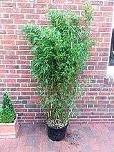 Bambus, Höhe: 160-170 cm, Fargesia Brillant,